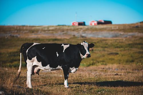 photo of black and white cow walking on grass field