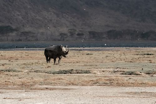 photo rhinoceros tanding on open field free for commercial use images