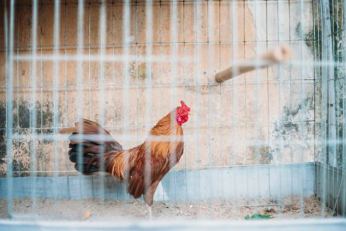 photo rooster on teal cage free for commercial use images
