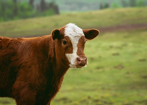 photo selective-focus photography of calf free for commercial use images