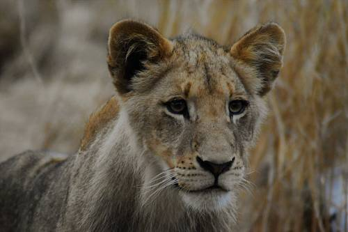 selective focus photography of lion