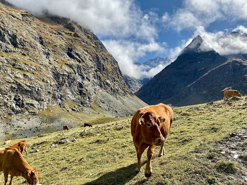 several brown cows in the mountain