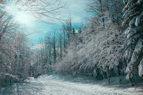 winter bare trees cover by snow platak