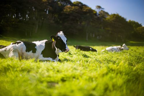 photo three black and white Angus cattle on green grass during day free for commercial use images