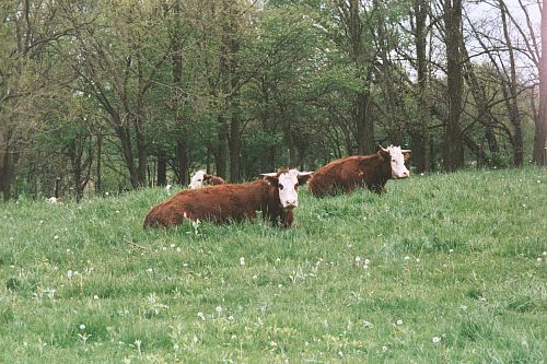photo three brown cows surrounded by trees free for commercial use images