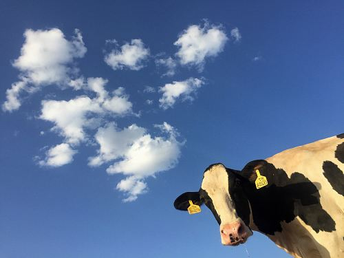 photo time lapse photography of cattle cow under clouds free for commercial use images
