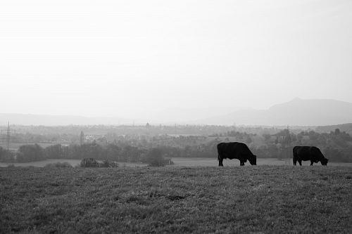 photo two black cattles eating grass free for commercial use images