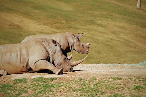 photo two gray rhinos lying on ground free for commercial use images