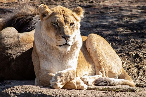 photo view of lioness free for commercial use images
