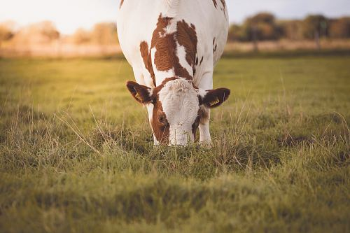 photo white and brown cow on green grass field free for commercial use images