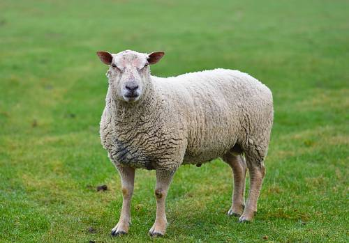 photo white sheep standing on green grass free for commercial use images