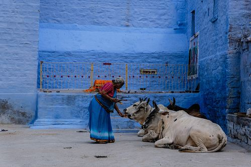 woman feeding cow