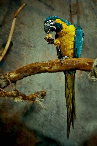 photo yellow and blue macaw perched on tree branch free for commercial use images