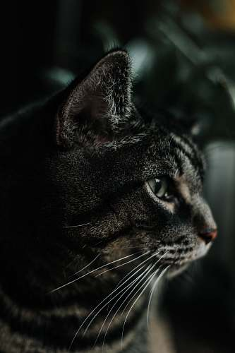 photo cat black and gray cat animal wallpapers free for commercial use images