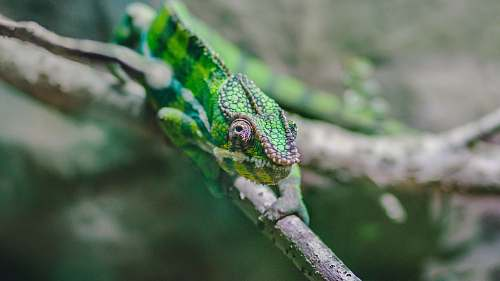 photo nature photo of chameleon on tree branch lizard free for commercial use images