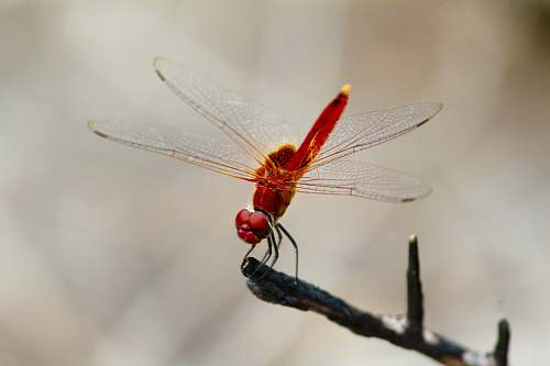 insect red dragonfly pollinating on tree branch dragonfly