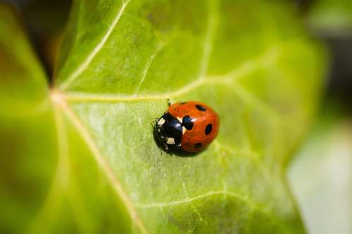 green red lady bug on leaf in macro photography apeldoorn