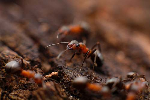 photo insect colony of fire ant animal free for commercial use images