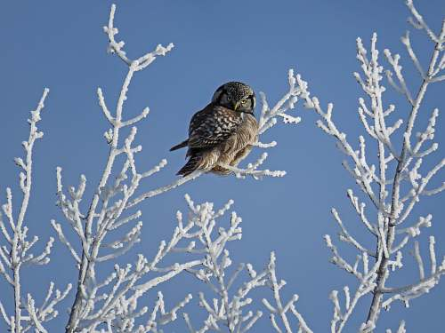 photo winter brown owl perched on leafless tree at daytime branch free for commercial use images