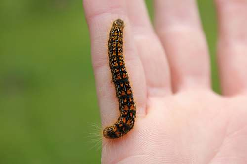 photo hand black and orange caterpillar on person's hand orange free for commercial use images