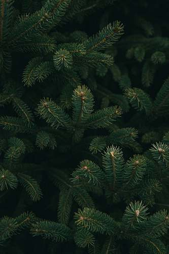 tree close up photo of green Christmas tree conifer