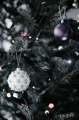 photo tree close-up photography of two purple and gray Christmas baubles conifer free for commercial use images