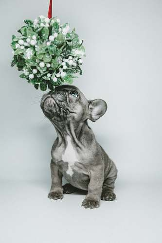 photo dog short-coated gray puppy smelling hanging flower animal free for commercial use images