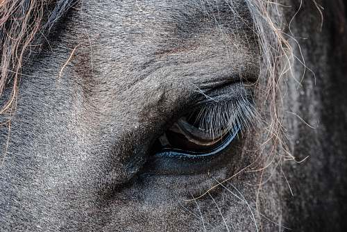photo animal close-up photo of gray horse's eye horse free for commercial use images