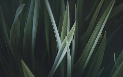 photo plant close up photo of green linear leaves grass free for commercial use images