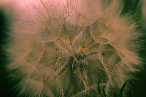 photo plant macro photography of dandelion dandelion free for commercial use images