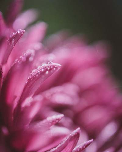 photo petal macro photography of pink clustered flower with water dews pink free for commercial use images
