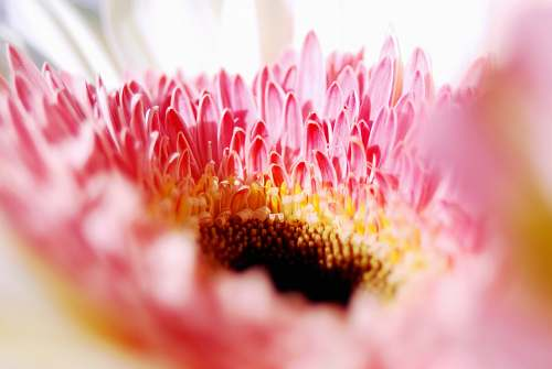 photo macro macro photography of pink petal flower le cannet free for commercial use images
