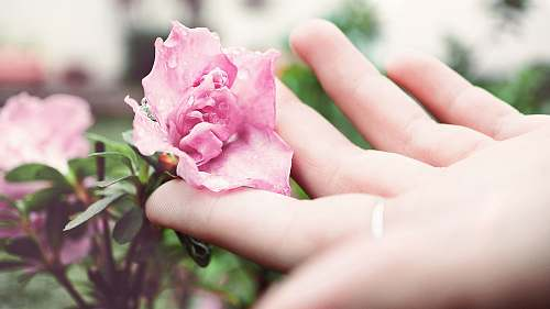 flora person holding pink peony flower rose