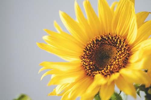 nature photo of yellow common sunflower sunflower