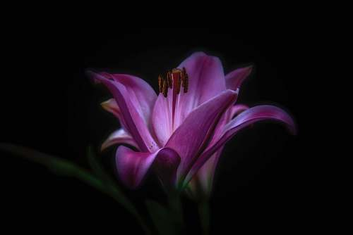 purple purple flower photography background