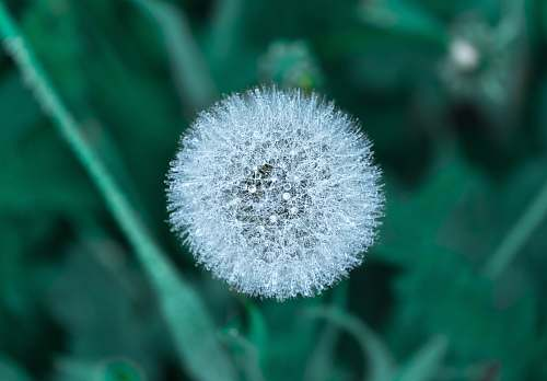 photo plant selective focus photography of a dandelion clock dandelion free for commercial use images