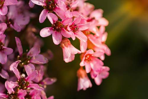 photo italy shallow focus photography of pink flowers human free for commercial use images
