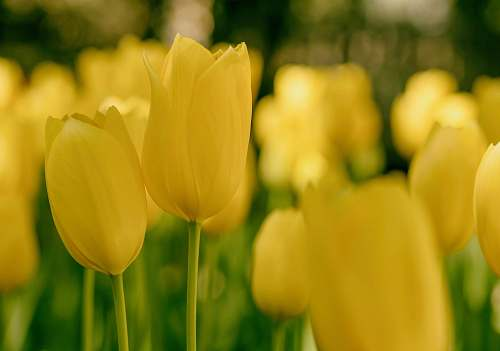 photo tulip tilt shift lens photography of yellow tulips flora free for commercial use images