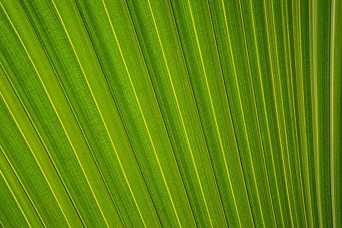photo pattern closeup photography of fan palm leaf leafe free for commercial use images