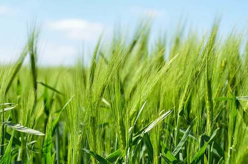 photo grass green grass field wheat free for commercial use images