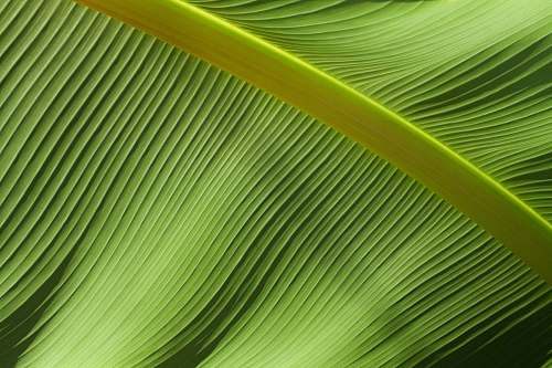 photo texture macro photography of green banana leaf nature free for commercial use images
