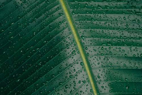 photo pattern water droplets on banana leaf rain free for commercial use images