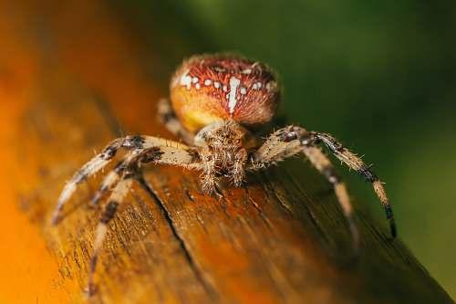 spider orange and brown spider arachnid