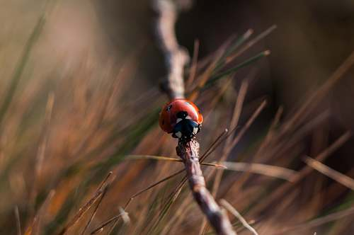 photo ladybird red 7-spotted ladybird on gray wooden tree branch closeup photography twig free for commercial use images