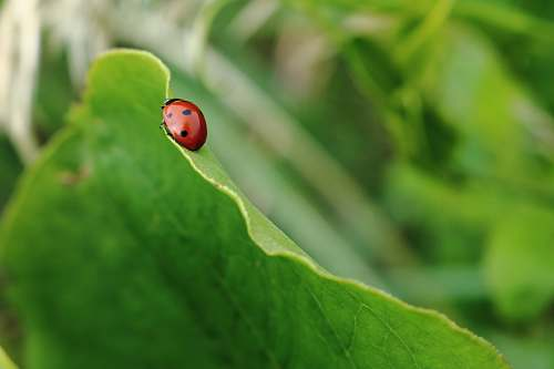 photo ladybug red and black bug on green leaf leaf free for commercial use images