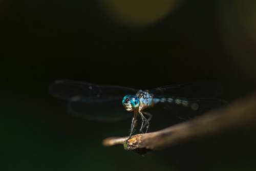 dragonfly shallow focus photography blue dragonfly twig