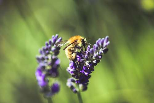 flora selective focus photography of bee perching on lavender plant plant