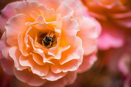flower honeybee feeding on orange flower romania