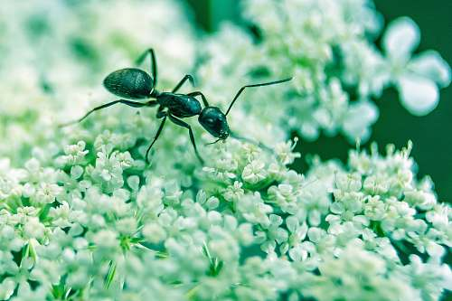 insect macro photography of black ant on white petaled flowers ant