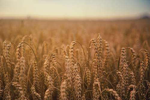 photo grain brown wheatfield food free for commercial use images